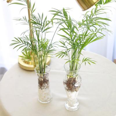 수경 재배 테이블야자 공기정화식물