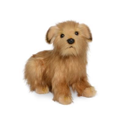 4126번 노르포크테리어 Dog Norfolk Terrier