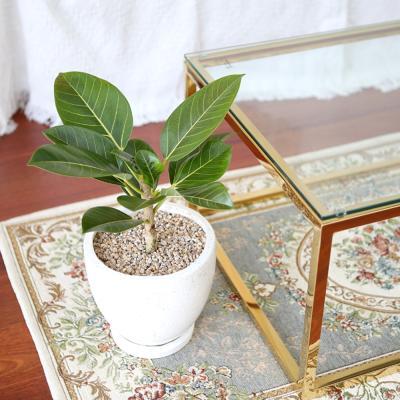 테라조 화분 뱅갈 고무나무 중형 공기정화식물