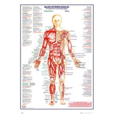 GN0849 인체 주요 근육 차트