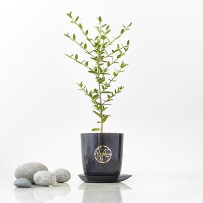 나만의 감성플랜츠 그린올리브나무[식물][전국택배]