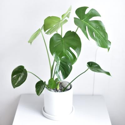 몬스테라 공기정화 식물 인테리어 화분