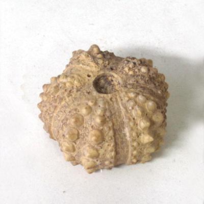 바다생물화석발굴 - 성게 [SL5]