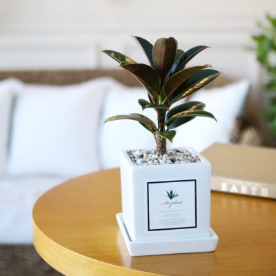 아모르 화분 멜라니 고무나무 공기정화식물