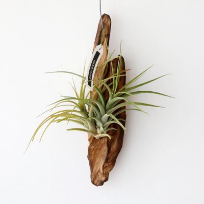 유목 콘콜라 틸란드시아 공기정화 먼지먹는 식물