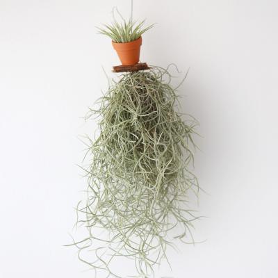 모빌수염 이오난사(미니)틸란 공기정화 먼지먹는식물