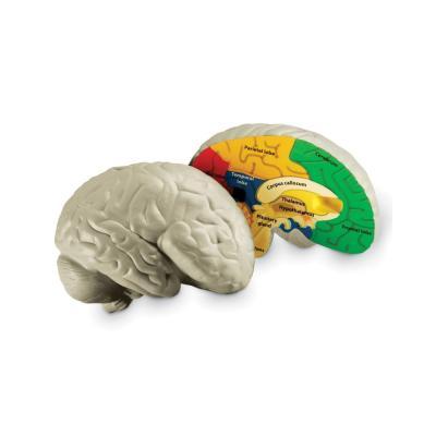 [러닝리소스] 인체뇌단면모형 (LER1903)