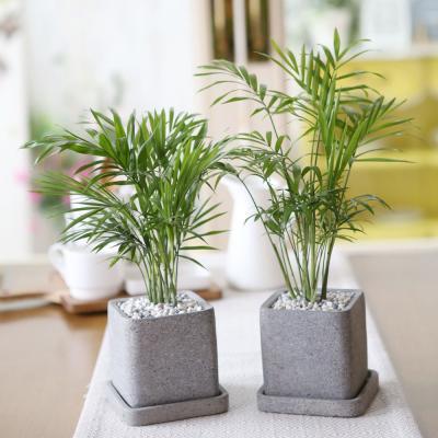 루체 화분 테이블야자 공기정화식물