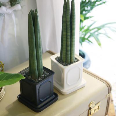 몰딩 화분 스투키 공기정화식물