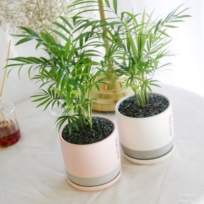 투톤 네이쳐 화분 테이블야자 공기정화식물