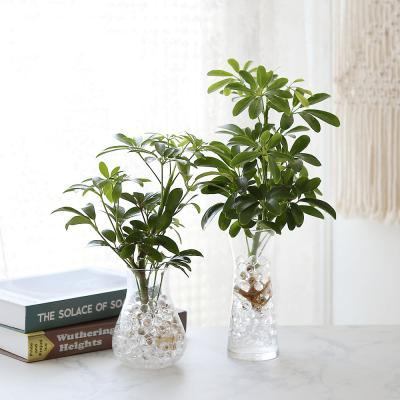 수경재배 홍콩야자 공기정화 수중식물