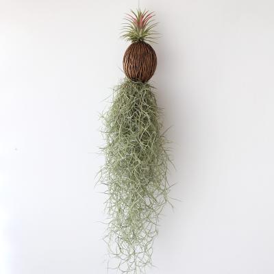퐁퐁수염 이오난사(중)틸란드시아 먼지먹는식물