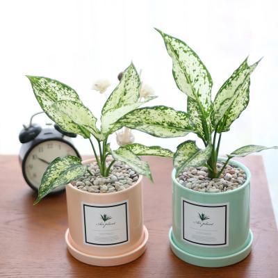 파스텔 화분 사파이어 공기정화식물