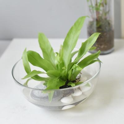 수경재배 파초일엽 고사리 인테리어 식물