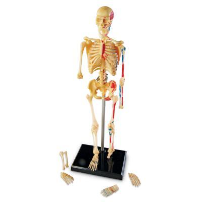[러닝리소스] 인체골격모형 (LER3337)