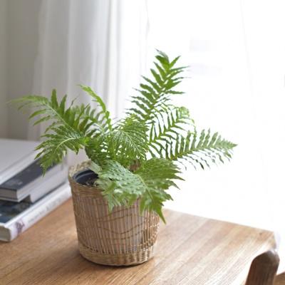 공기정화 식물 고사리 실버레이디 왕골 바구니 세트