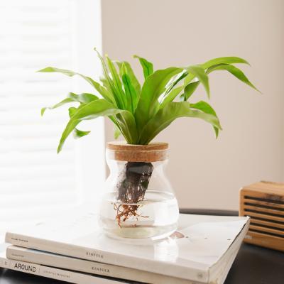 실내공기정화식물 수경재배 키우기 글래시 No.8