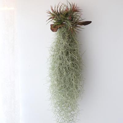 유목 클럼프수염(대)틸란 공기정화 먼지먹는식물