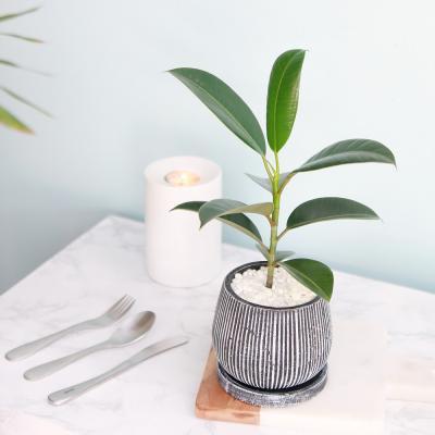 멜라니 고무나무 엔틱 화분 공기정화식물