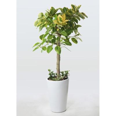 [관엽] 뱅갈고무나무3
