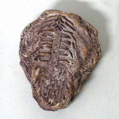 식물화석발굴 - 레피도덴드론 [PF6]