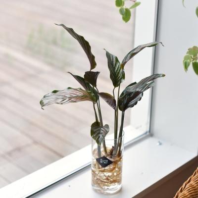 칼라테아 진저 공기정화 식물 수경식물 화병