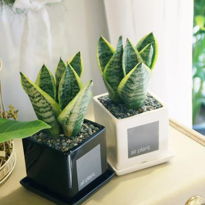 모던 화분 산세베리아 공기정화식물