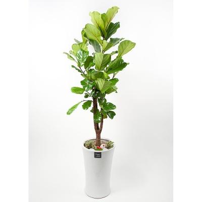 FN5724 떡갈고무나무 높이 175~180cm