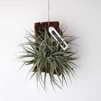 유목 휴스톤 틸란드시아 공기정화 먼지먹는 식물