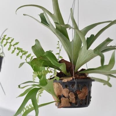 행잉플랜트 박쥐란 대형 공기정화 식물