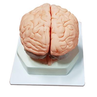 뇌모형(3단분리)