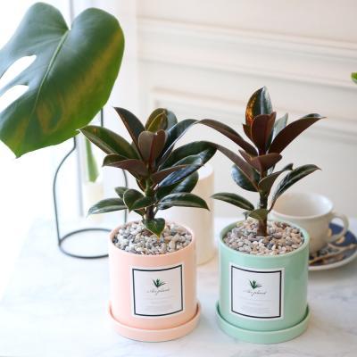 파스텔 화분 멜라니 고무나무 공기정화식물
