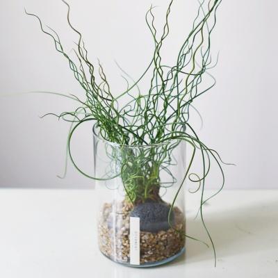 스프링골풀 공기정화 식물 수경식물 투명 화병