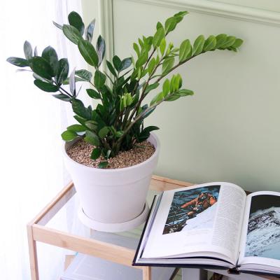 금전수 중형 마블 화이트화분 공기정화식물