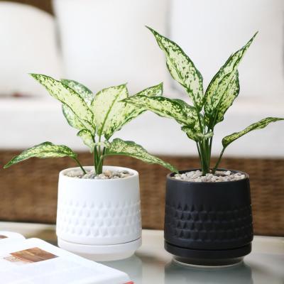 모노 화분 스노우 사파이어 공기정화식물