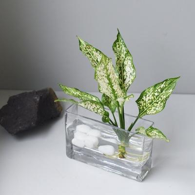 아글라오네마 수경식물 셀프인테리어 플랜테리어