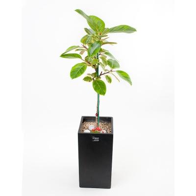 FN5717 뱅갈고무나무 높이 90~95cm