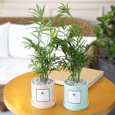 파스텔 화분 테이블야자 공기정화식물