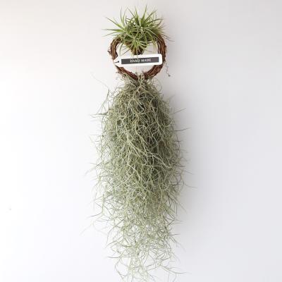 하트 수염 이오난사(중) 틸란 공기정화 먼지먹는 식물
