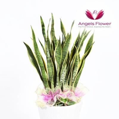 [엔젤스플라워] 산세베리아_대형 전국꽃배달 AGFYHP03BS