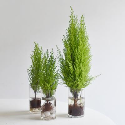율마 공기정화식물 수경 인테리어 식물