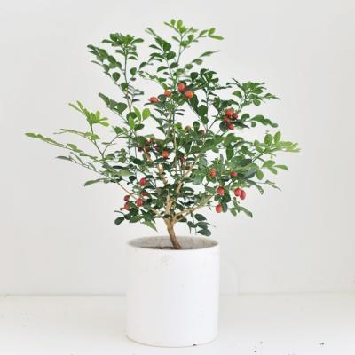 오렌지 자스민 인테리어 공기정화 식물 화분