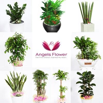[엔젤스플라워]전국퀵 축하화분 공기정화식물 꽃배달