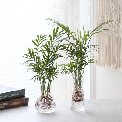 수경재배 테이블야자 공기정화 수중식물
