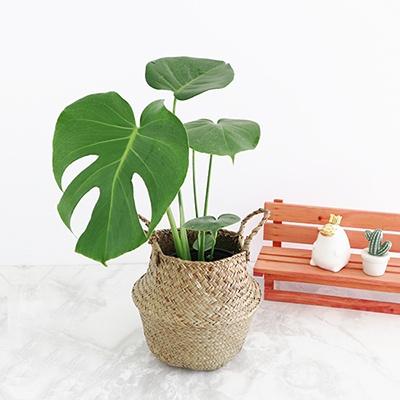 [사은품증정] 몬스테라 화분+해초 바구니 세트