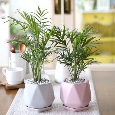 리솜 컬러화분 테이블야자 공기정화식물