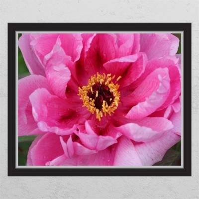 cd659-재물상징모란꽃_창문그림액자