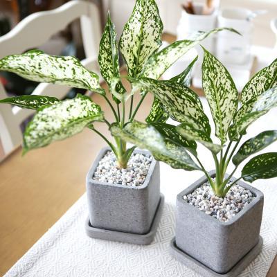 루체 화분 사파이어 공기정화식물