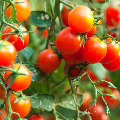 과일 방울 토마토 도마토 키우기 씨 씨앗 종자 100립