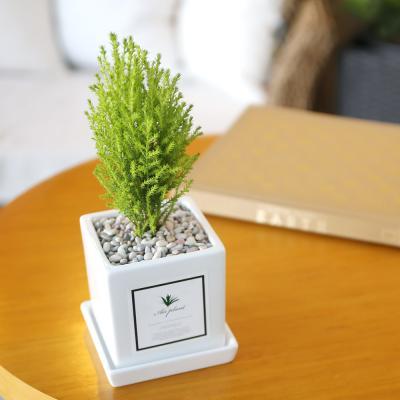 아모르 화분 율마 공기정화식물